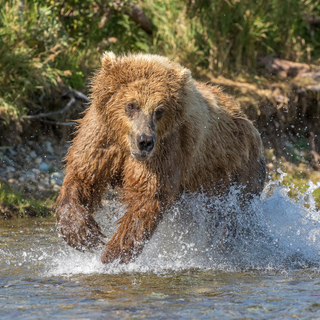 """""""Brown bear fishing ion the river"""" stock image"""