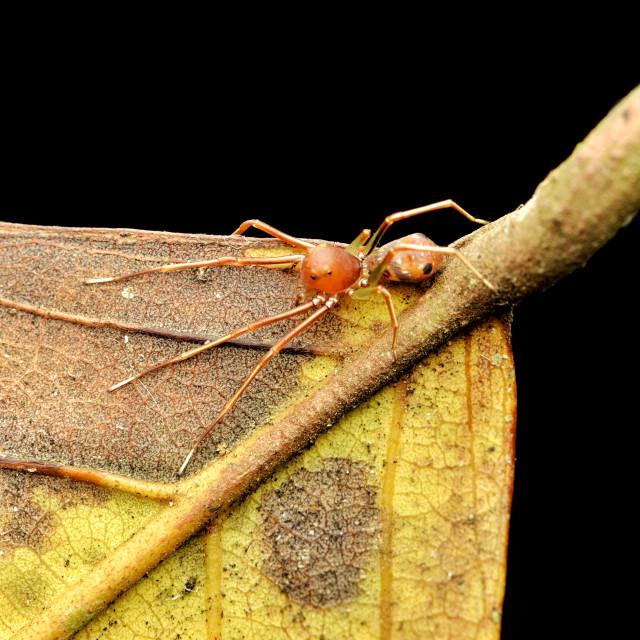 """Ant Mimic Spider"" stock image"
