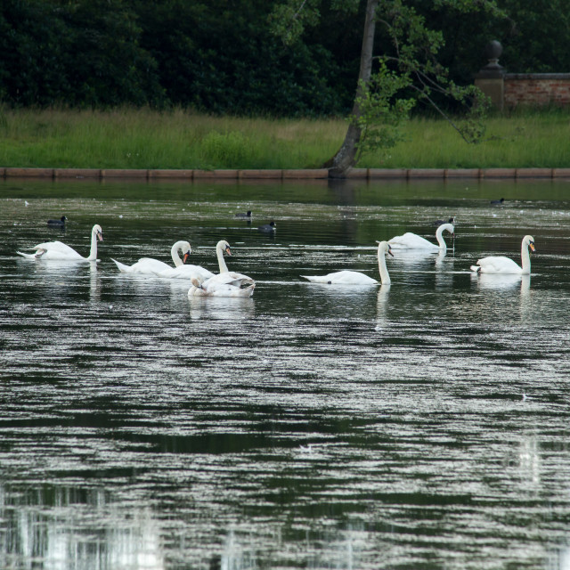 """""""Swans and Coots on Tundry Pond"""" stock image"""