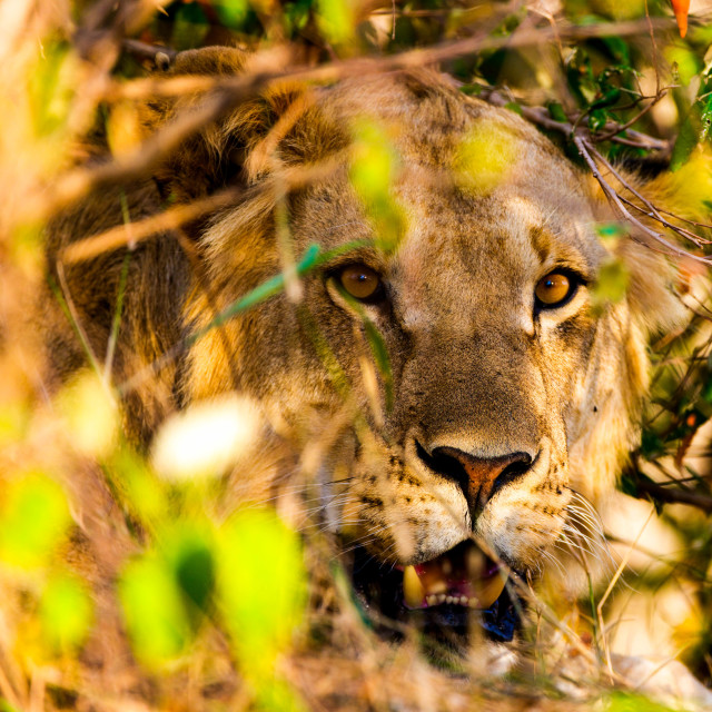 """""""Young male lion in bushes- portrait"""" stock image"""