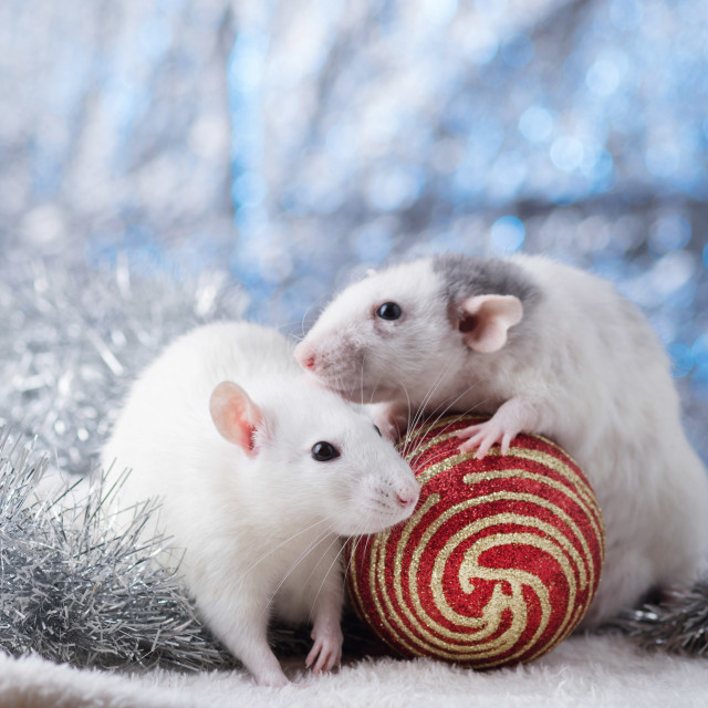 """""""New Year concept. Cute white domestic rat in a New Year's decor. Symbol of the year 2020 is a rat. Gifts, toys, garlands, Christmas tree branches"""" stock image"""