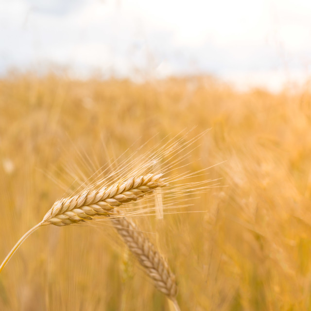 """""""Wheat field. Ears of golden wheat close up. Beautiful Nature Sunset Landscape. Rural Scenery under Shining Sunlight. Background of ripening ears of meadow wheat field. Rich harvest Concept"""" stock image"""
