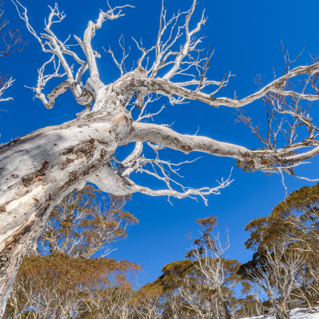 """Blue sky snow gum"" stock image"