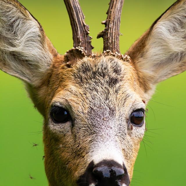 """Flock of mosquitoes stinging roe deer buck in nature in summer."" stock image"