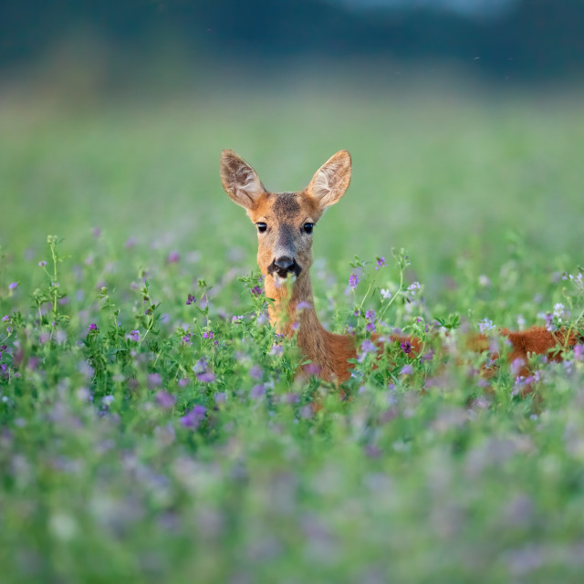 """Roe deer doe hidden in clover peeking out facing camera in summer."" stock image"