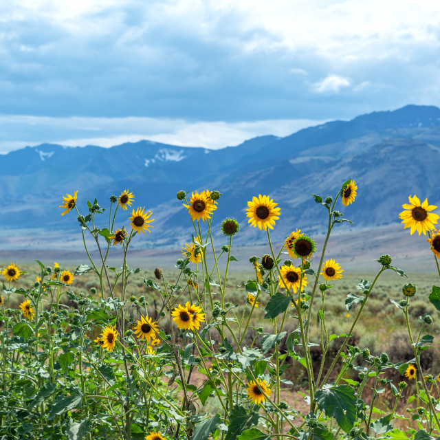 """Wildflowers and Steens Mountains in Oregon"" stock image"