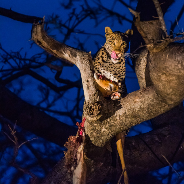 """Leopard in tree with kill"" stock image"