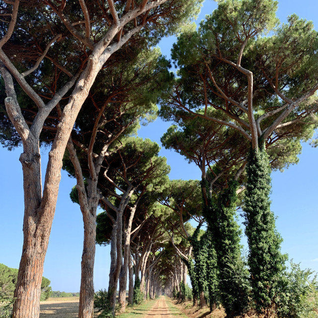 """""""The Tuscan pinetrees"""" stock image"""