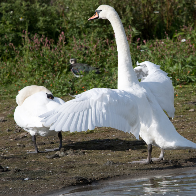 """Mute Swans (Cygnus olor)"" stock image"