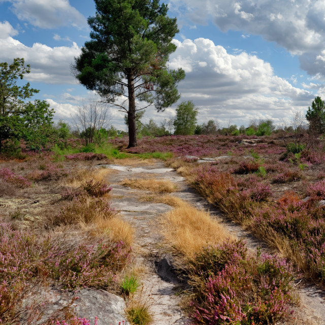 """Coquibus heather land"" stock image"