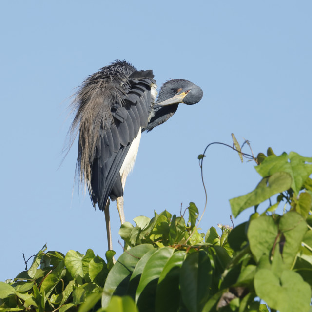"""""""A tricolored heron preening its feathers"""" stock image"""
