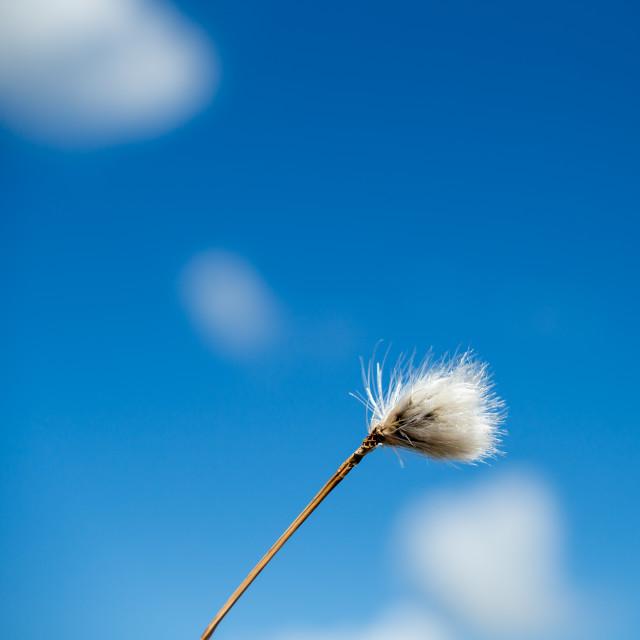 """Cotton-grass"" stock image"