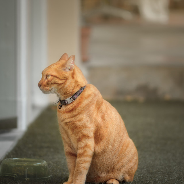 """Orange Tabby"" stock image"