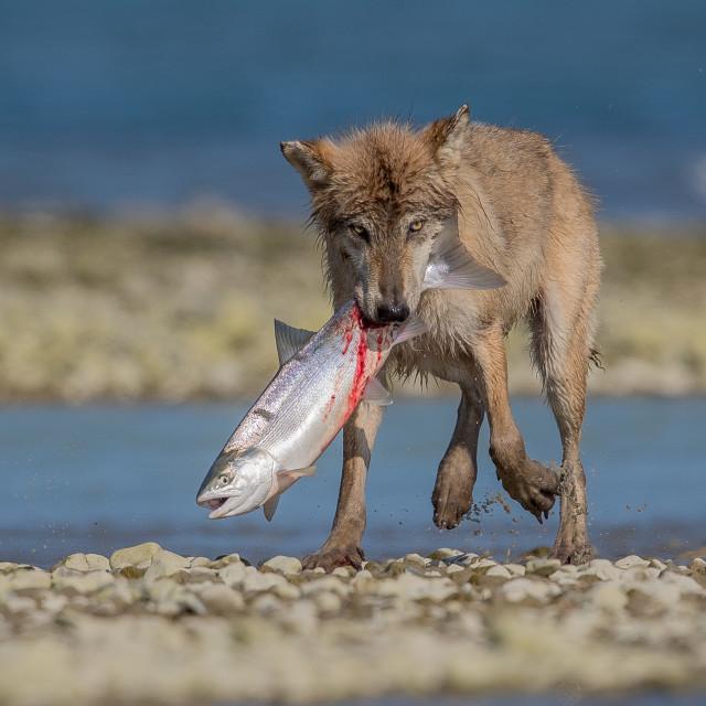"""Wolf hunting salmon, on the Alaska shore"" stock image"