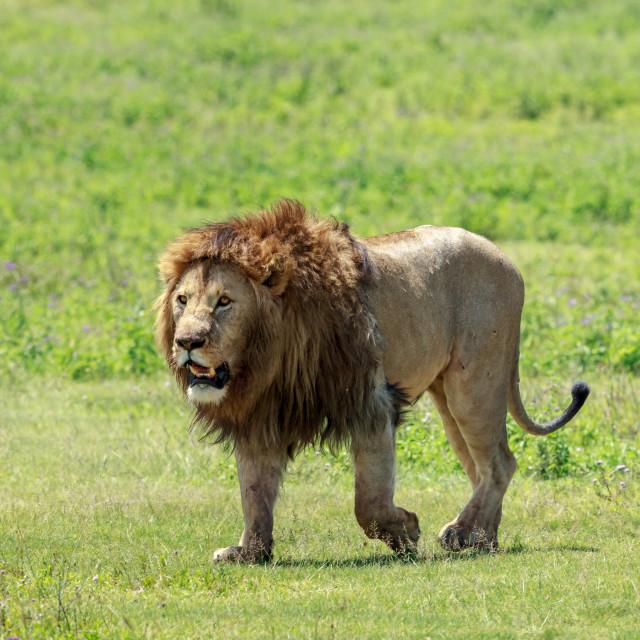 """The king of the Ngorongoro Crater caldera"" stock image"