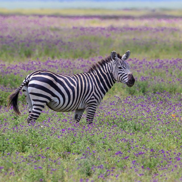 """""""A Plains zebra inside the Ngorongoro Crater caldera"""" stock image"""