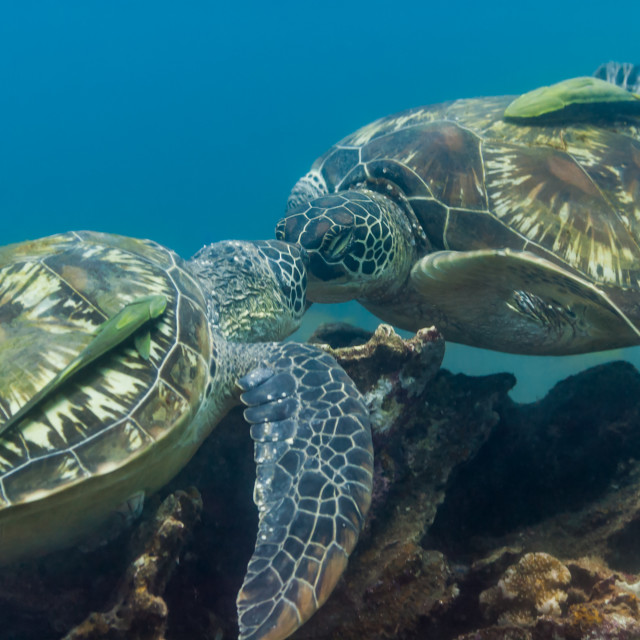"""Turtles kiss above coral reef"" stock image"