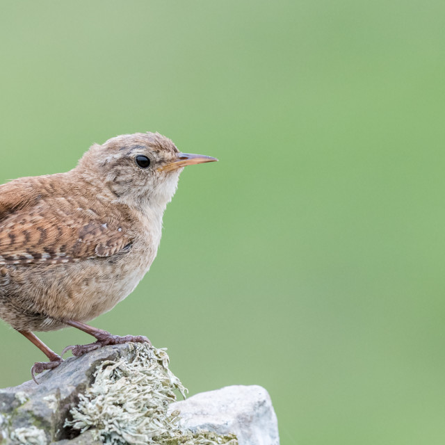 """Wren perching on rock"" stock image"