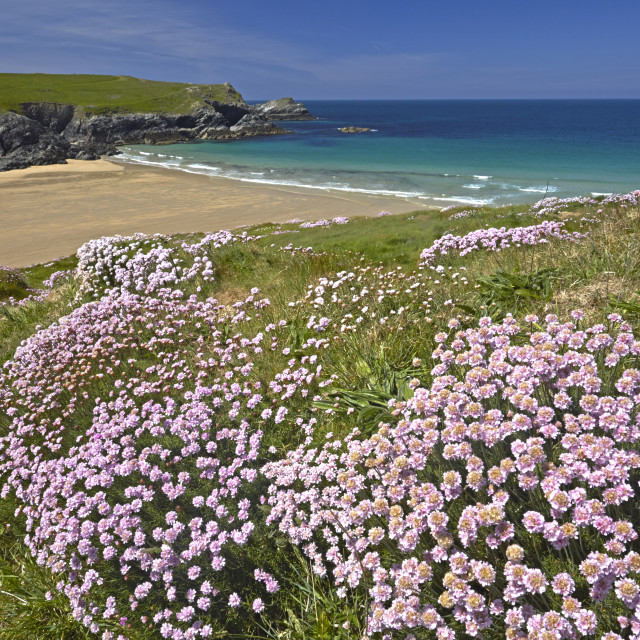 """The sandy beach of Porth Joke seen from the thrift covered cliff tops,..."" stock image"