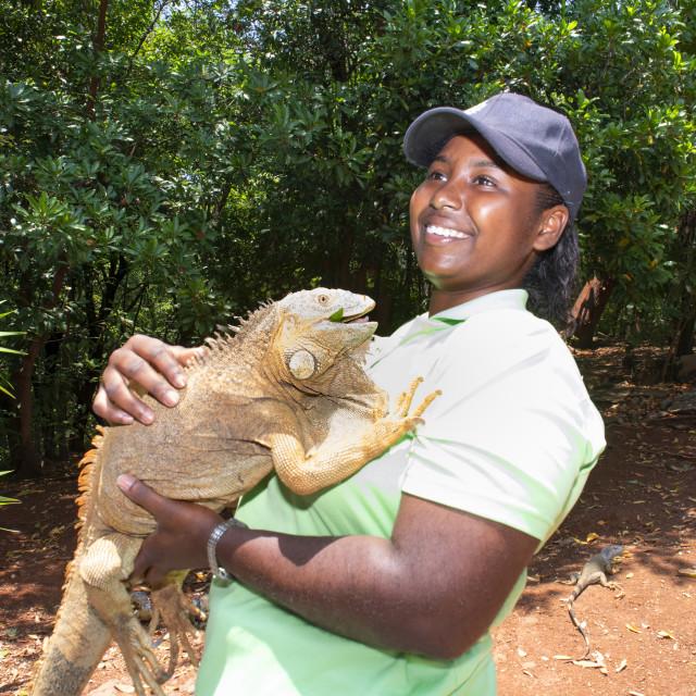 """""""American iguana (Iguana iguana), Caribbean"""" stock image"""