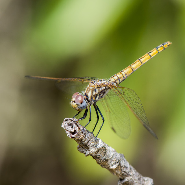 """Violet Dropwing (Trithemis annulata) female dragonfly resting on a branch, Spain."" stock image"