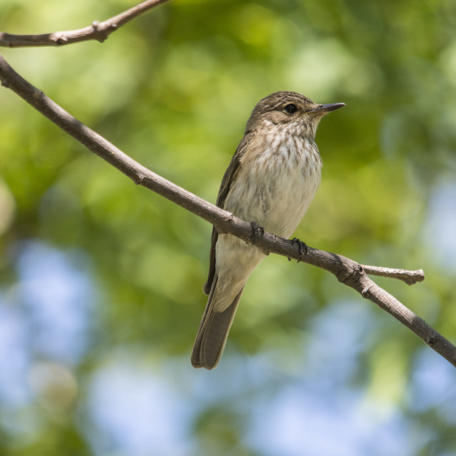 """Spotted flycatcher (Muscicapa striata)."" stock image"