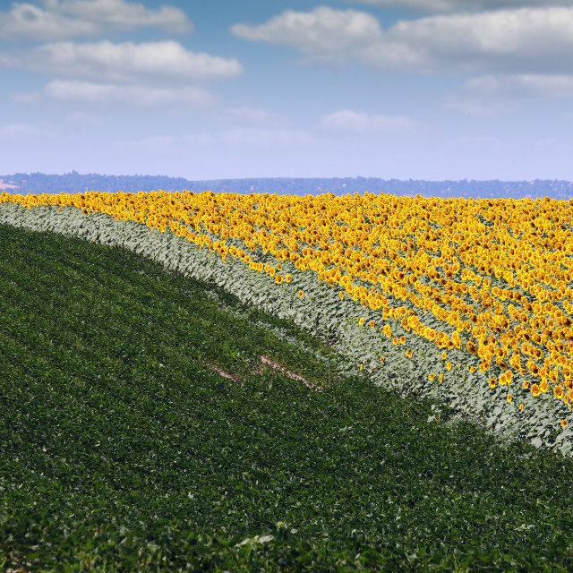 """""""sunflower and soybean field in summer agriculture"""" stock image"""