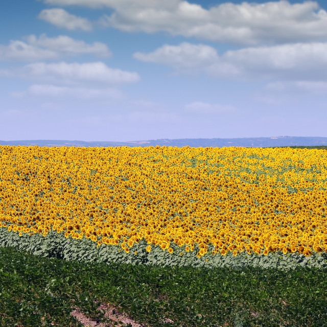 """""""sunflower and soybean field in summer"""" stock image"""