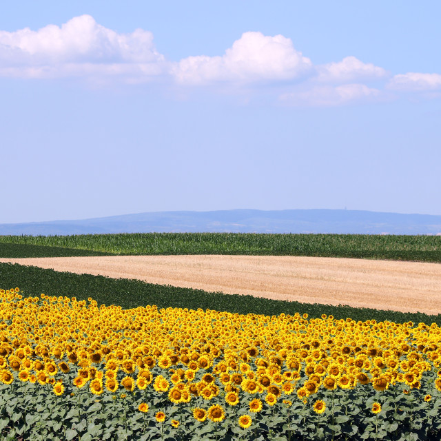 """""""sunflower soybean and corn fields landscape agriculture"""" stock image"""