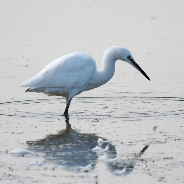 """Little Egret (Egretta Garzetta)"" stock image"