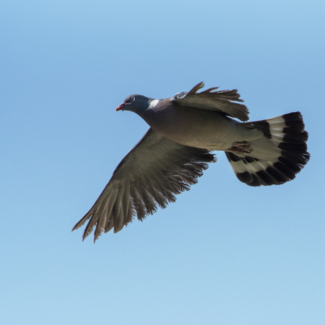 """Wood Pigeon in Flight"" stock image"