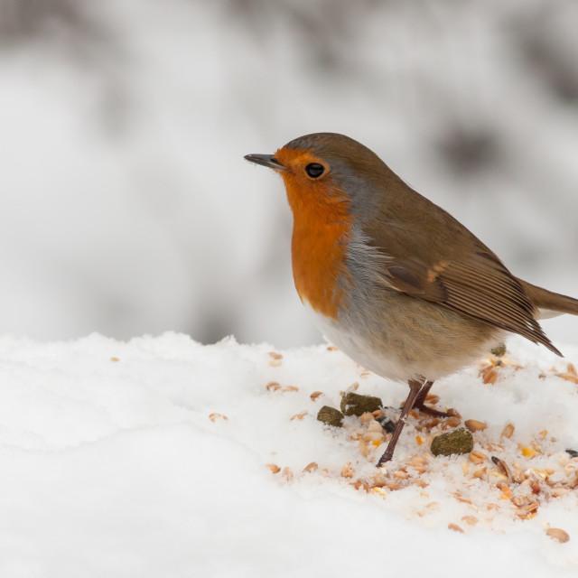 """Robin Red Breast Bird"" stock image"
