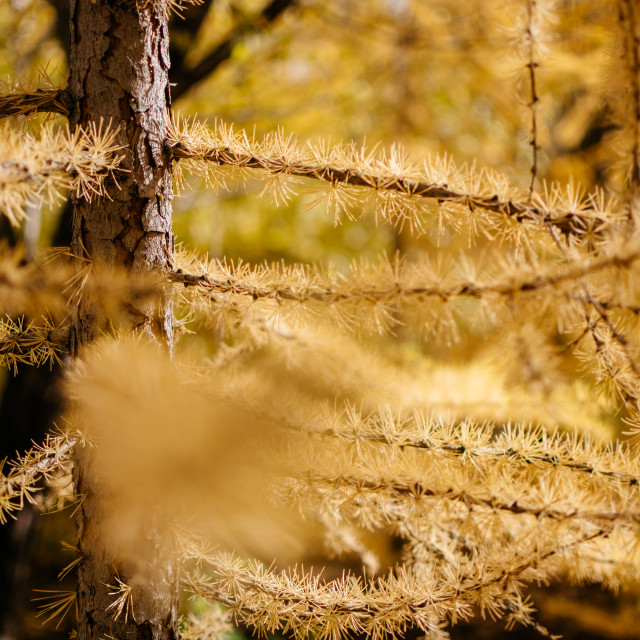 """Golden Larch tree in Autumn"" stock image"