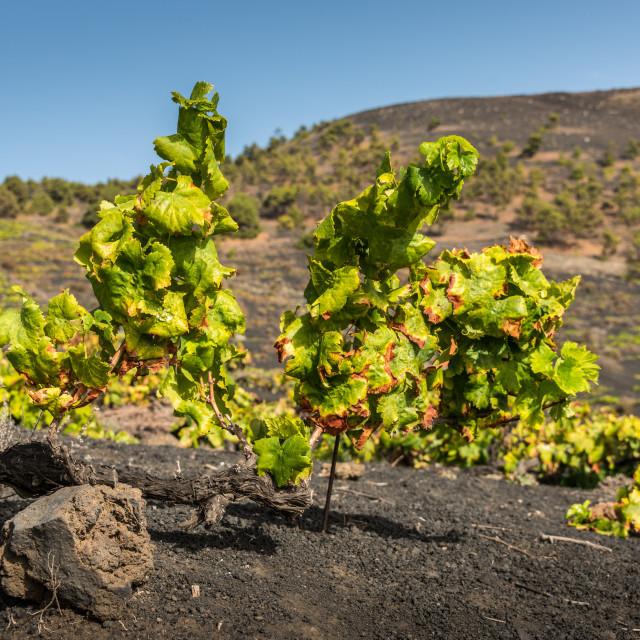 """Grape vines on a vineyard"" stock image"