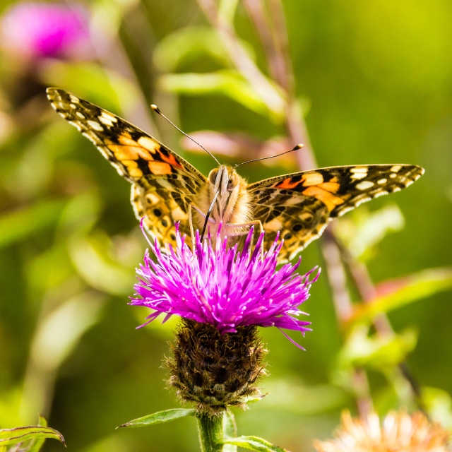 """""""Painted Lady butterfly"""" stock image"""