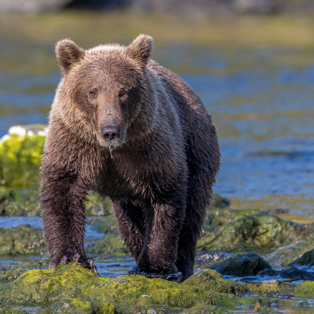 """""""brown bear (grizzly)"""" stock image"""