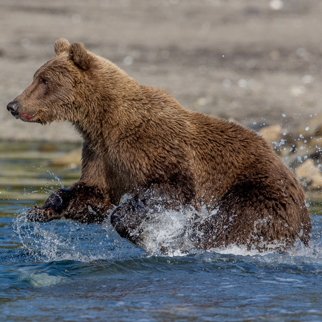 """""""Brown bear (grizzly) fishing"""" stock image"""