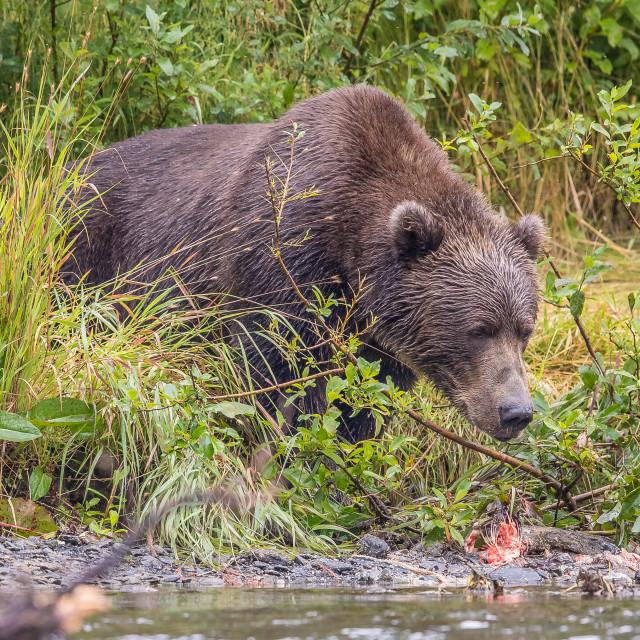 """kodiak brown bear (grizzly)"" stock image"
