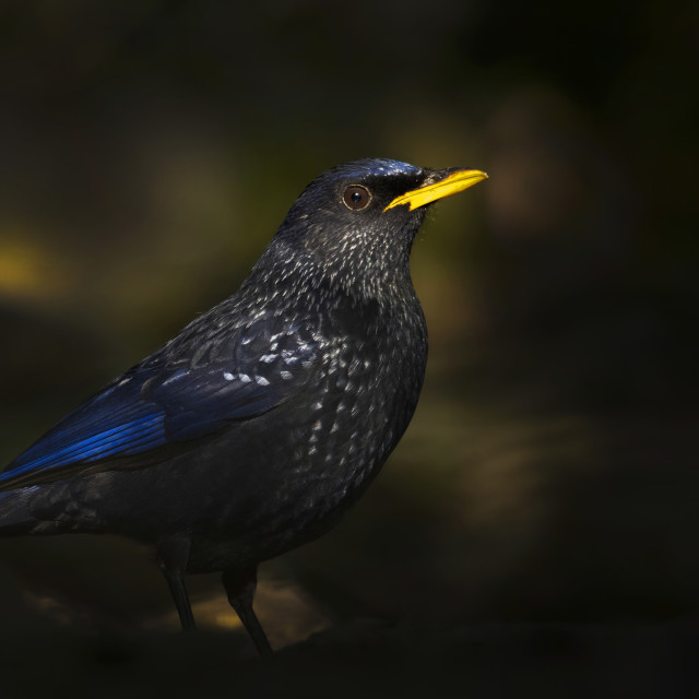 """Blue whistling thrush a gorgeous bird in forest in first light"" stock image"