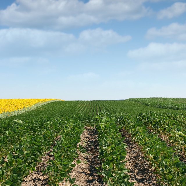 """""""soybean field in summer agriculture"""" stock image"""