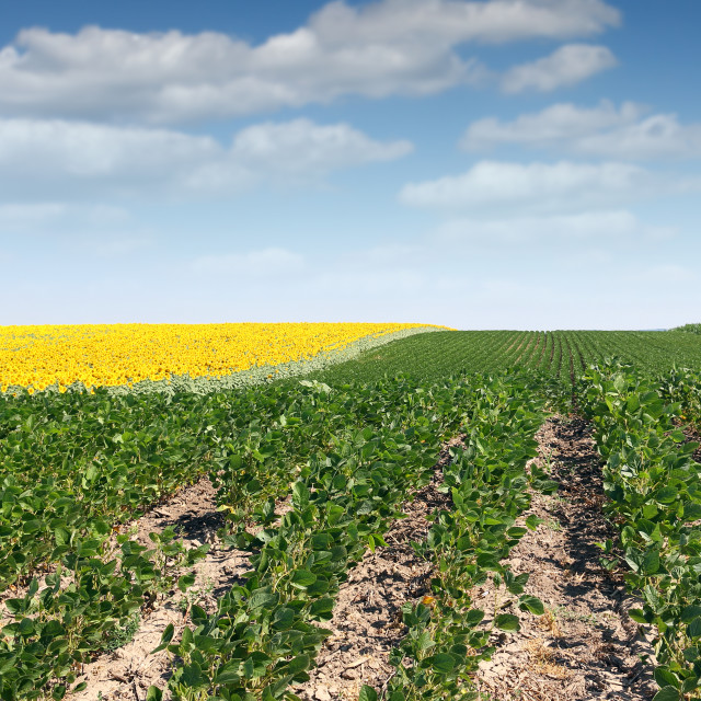 """""""soybean field in summer landscape agriculture"""" stock image"""
