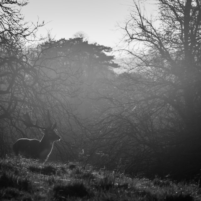 """Sunlit Deer in Black and White"" stock image"