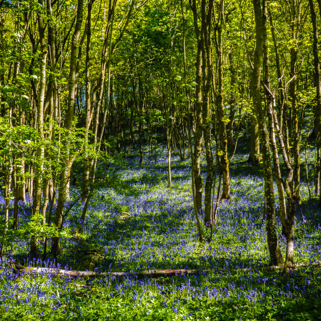 """Bluebell woods."" stock image"