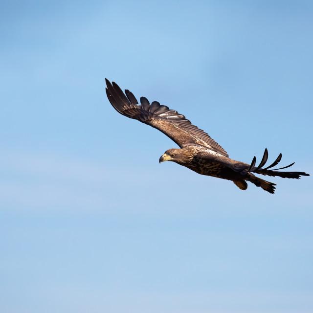 """Juvenile white-tailed eagle flying against blue sky at sunrise."" stock image"