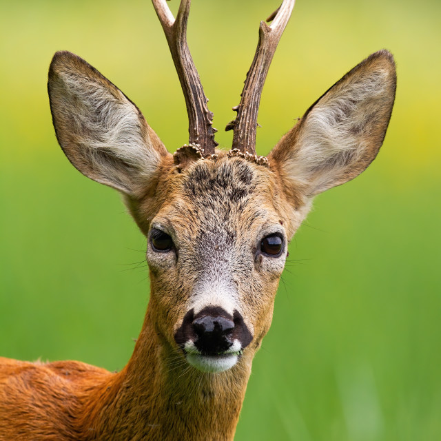"""Head of roe deer buck in summer nature."" stock image"