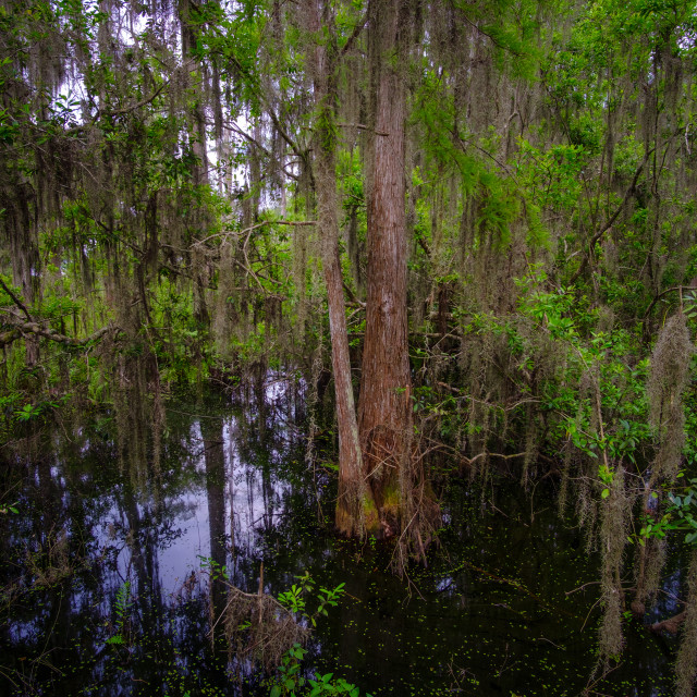 """Cypress Swamp"" stock image"