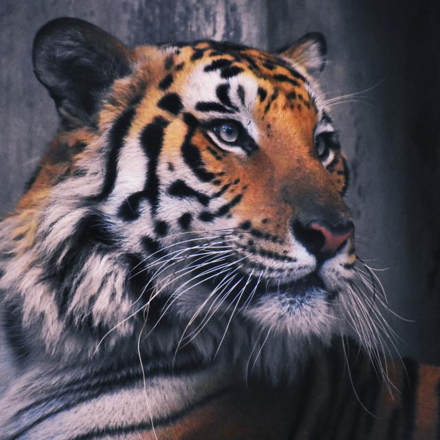 """Royal Bengal Tiger"" stock image"
