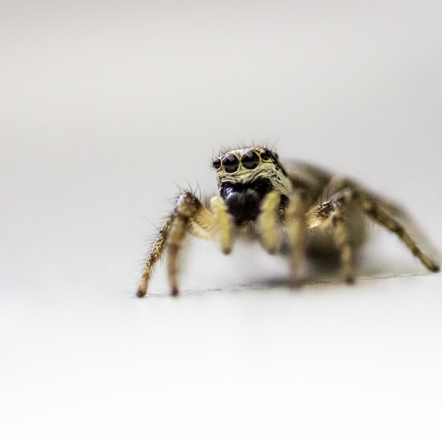 """""""Jumping Spider on white background"""" stock image"""