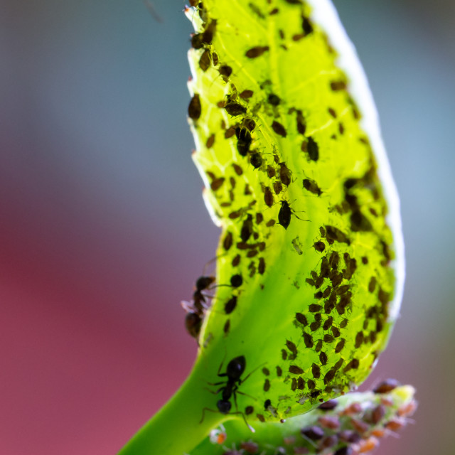 """Aphids and ants on the underside of a green leaf"" stock image"