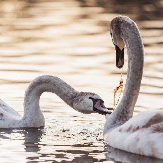 """Swan's Feeding"" stock image"